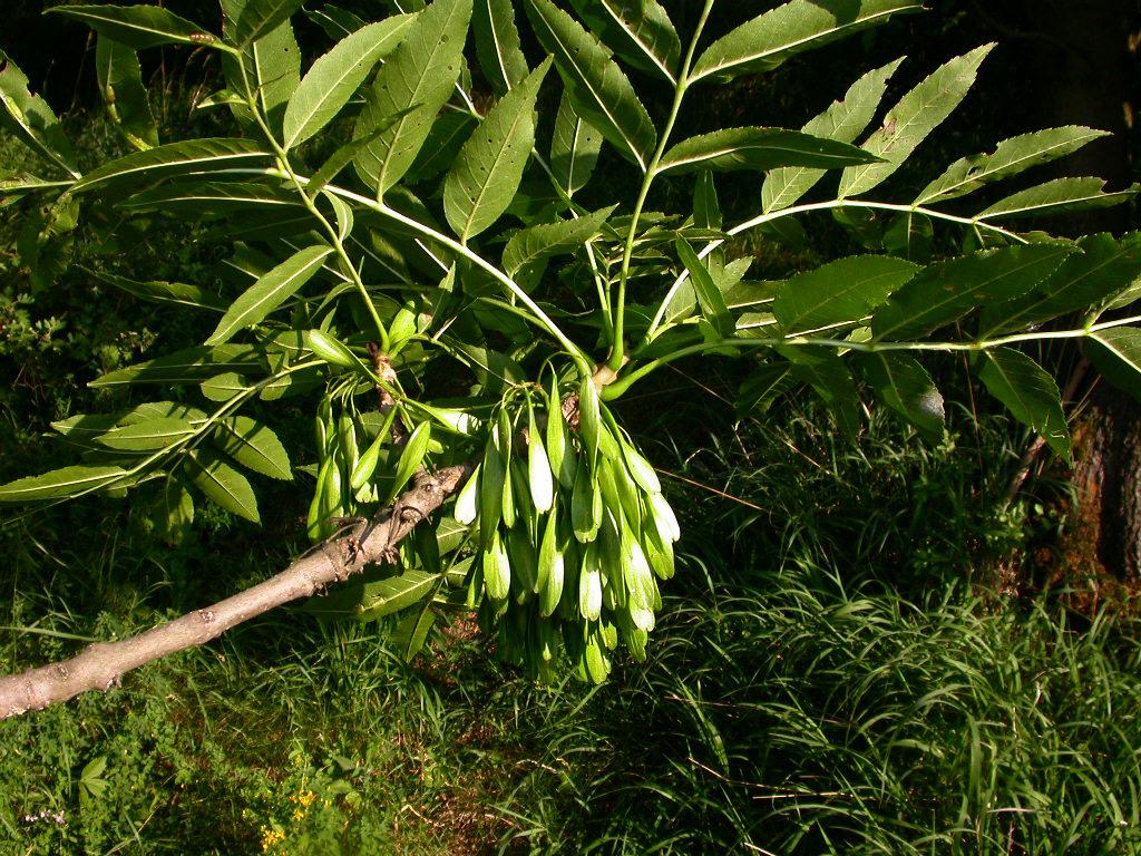 Jasan ztepilý (Fraxinus excelsior L.)