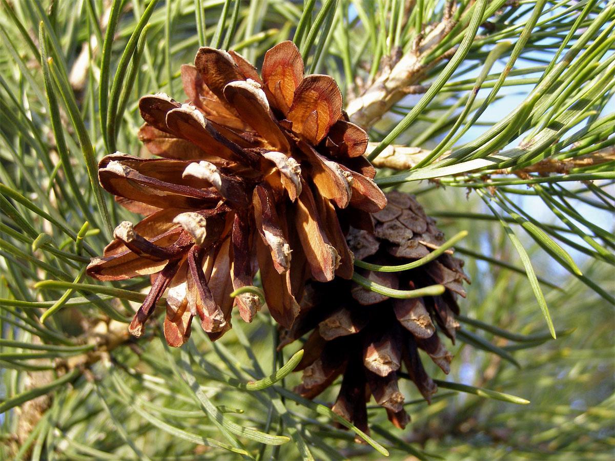 Borovice lesní (Pinus sylvestris L.)