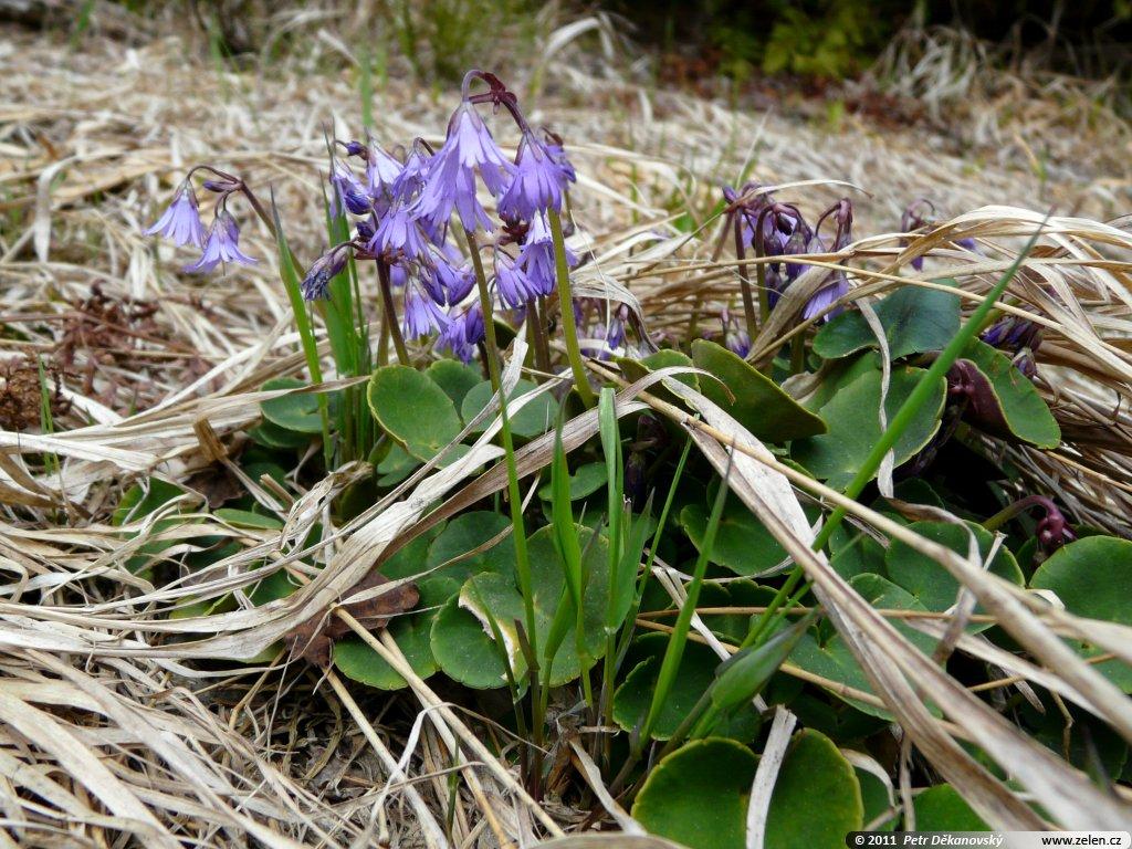 Dřípatka horská (Soldanella montana L.)
